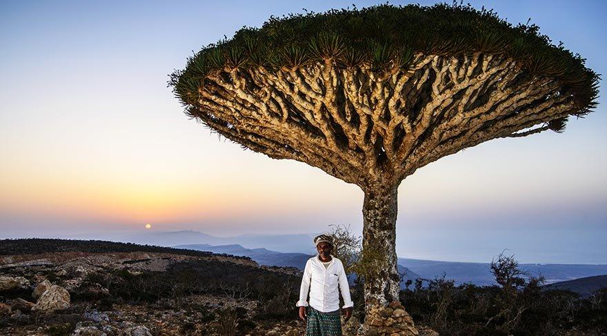 Özellikleriyle şaşırtan Sokotra'nın 'Ejderin Kanı Ağacı' 1