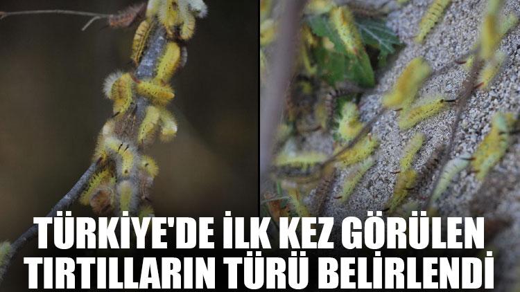 Türkiye'de ilk kez görülen tırtılların türü belirlendi