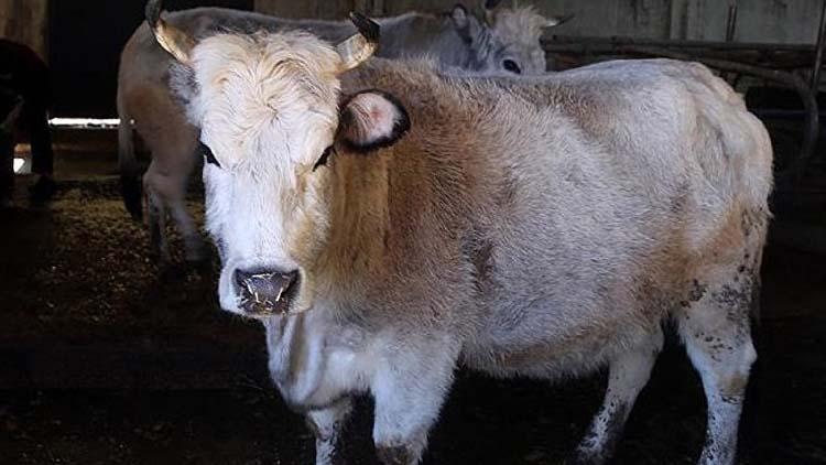Rusya: Türkiye'ye sığır eti satışı bu yıl başlayacak
