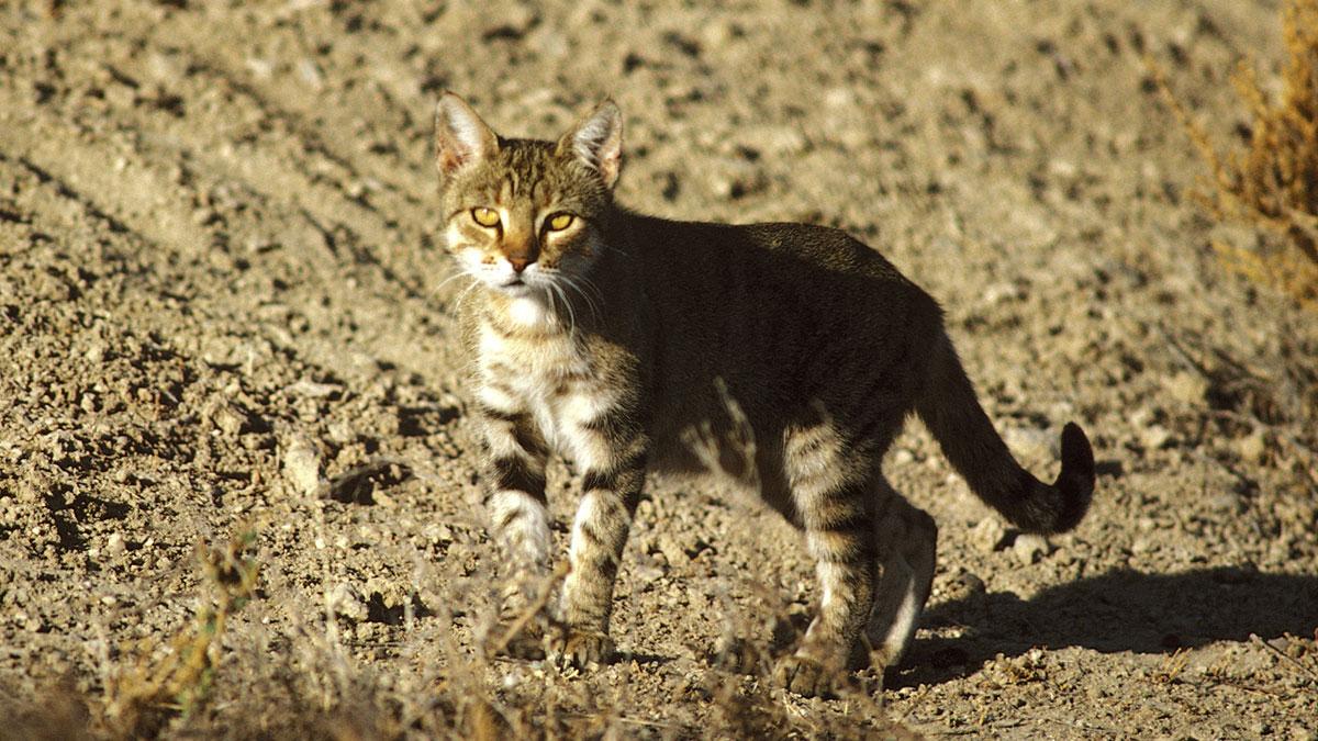 Avustralya, 2-6 milyon arasında kediyi zehirleyecek