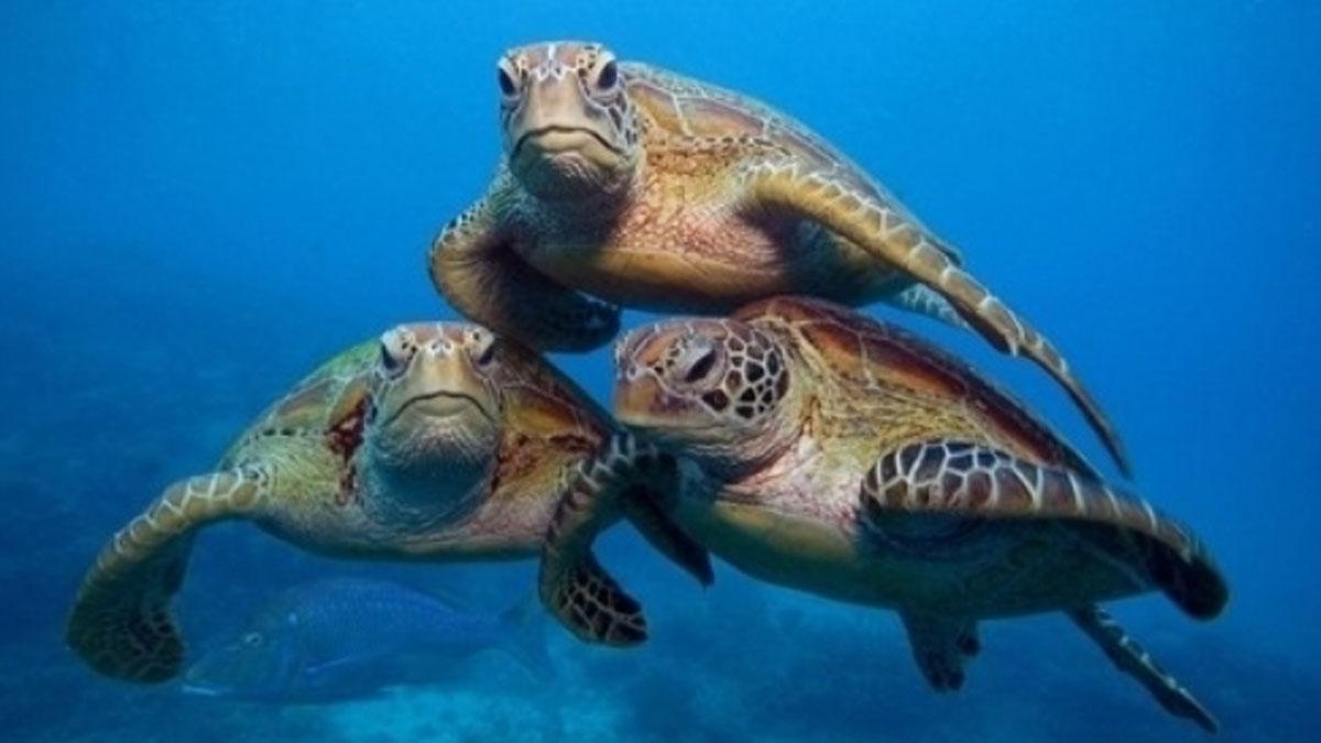 Antalya'da 9 deniz kaplumbağası öldü: Ölüm nedeni insanlar