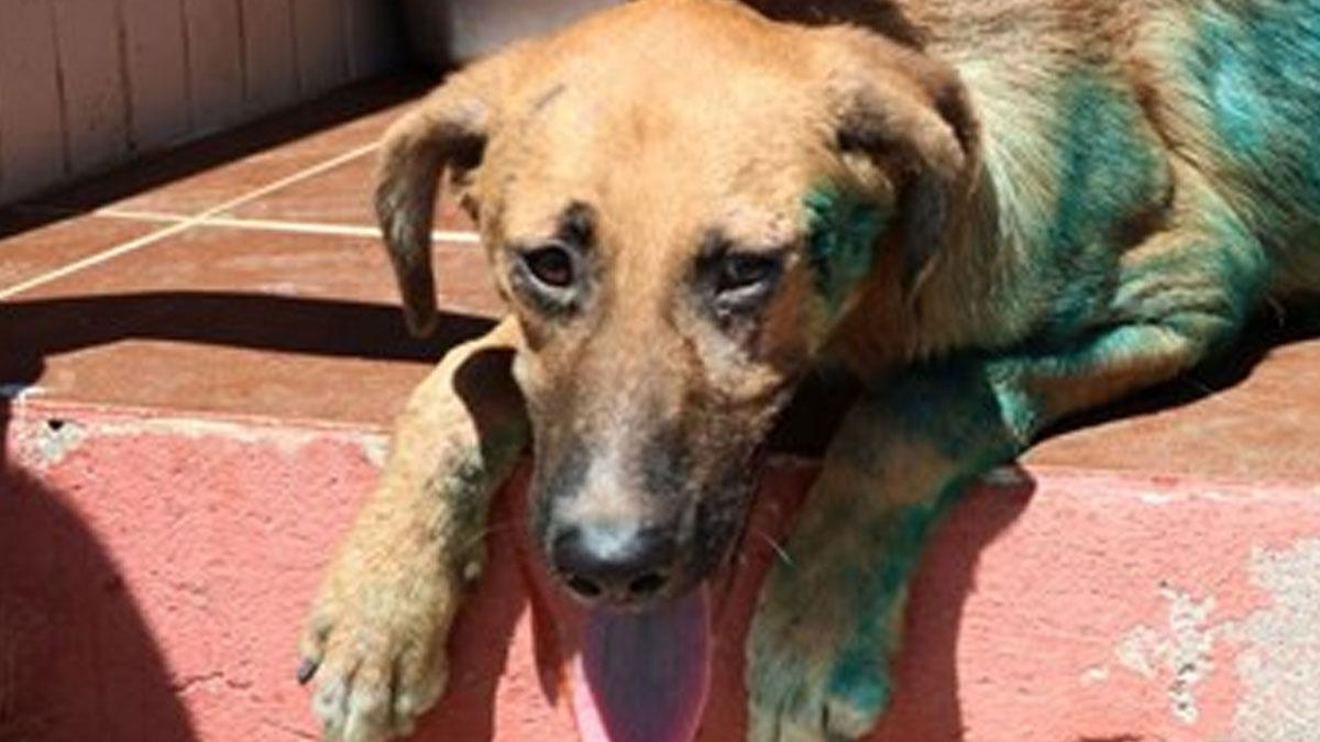 Hayvana karşı şiddet bitmiyor:Köpeğin üzerine jiletle 'it' yazdılar