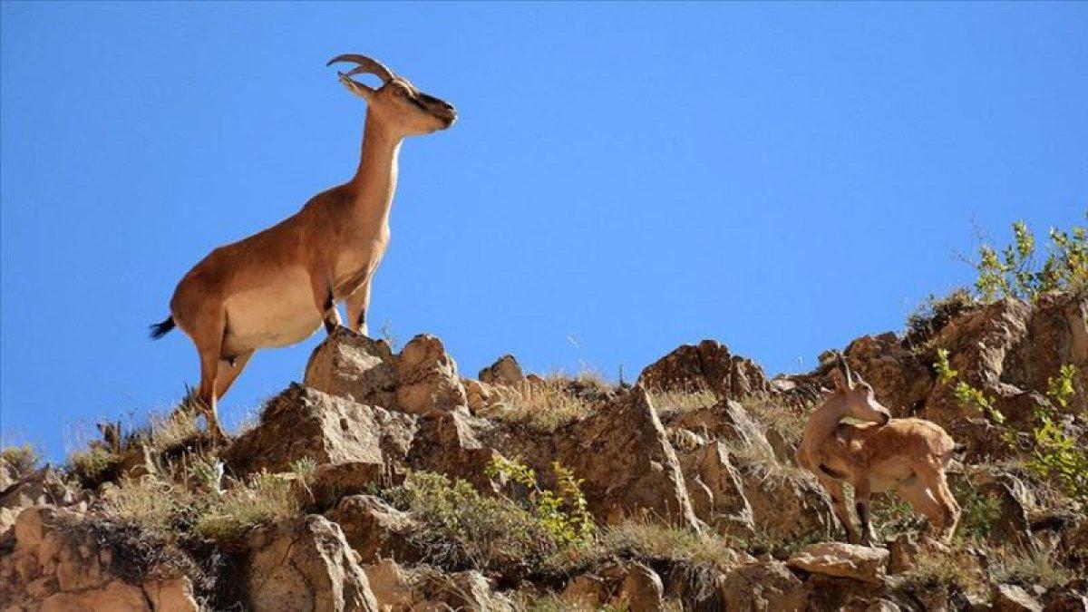 Yaban keçisi avlayanlara büyük ceza!