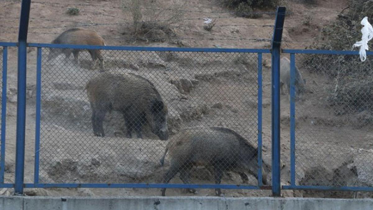 Sarıyer'de domuzlar caddeye indi