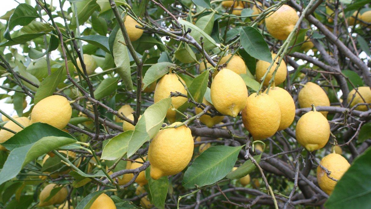 Coronavirüs salgını C vitamini deposu limona talebi arttırdı
