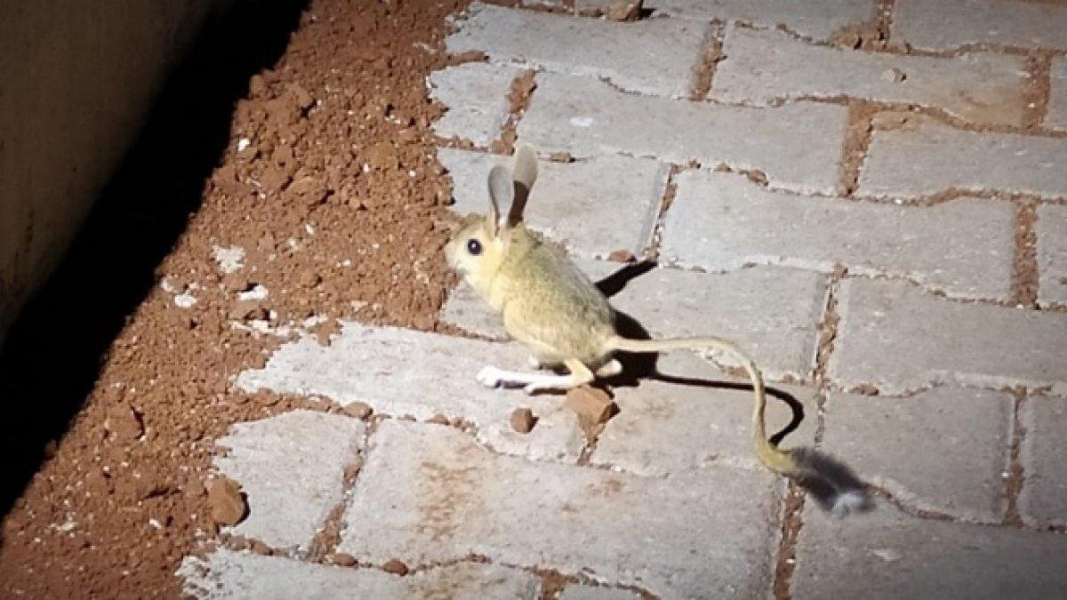 Adıyaman'da kanguru faresi görüldü