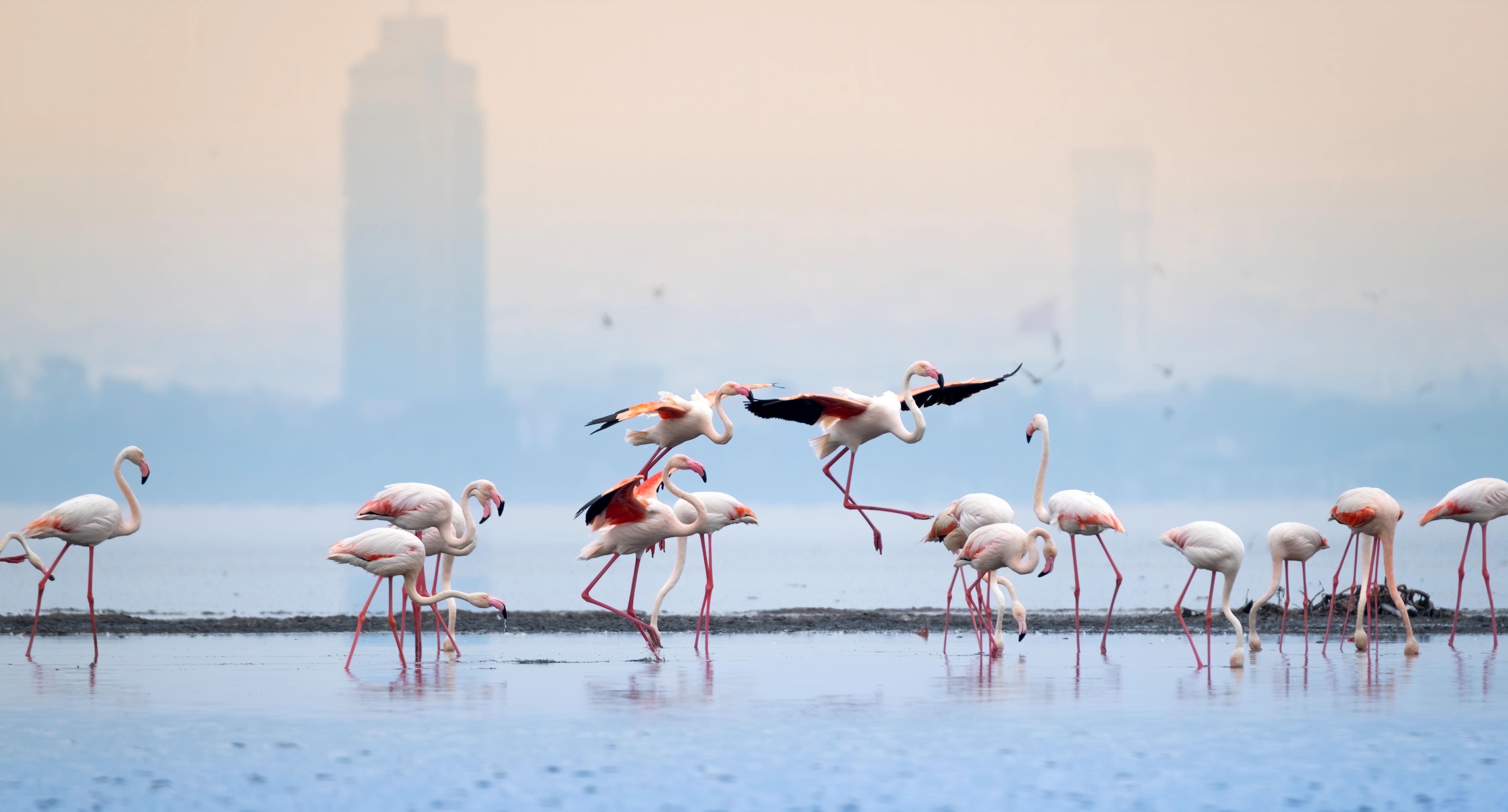 dronlar-flamingolari-strese-sokuyor-9117-dhaphoto2.jpg