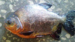Türkiye sularında bulunmuyor ama Kızılırmak'ta pirana yakaladılar