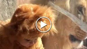 Küçük çocuk ile aslanın 'kostüm' samimiyeti