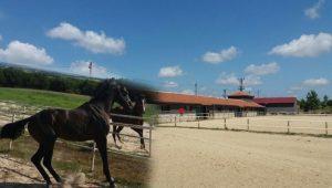Silivri'de kurtlar köye indi, atlar telef oldu