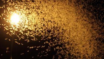 Kelebeklerin ölüm dansı...