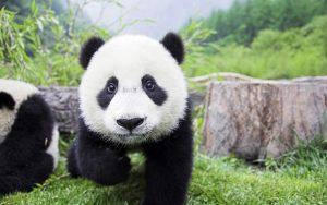 First Lady yeni doğan pandanın manevi annesi oldu