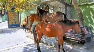 Tekirdağ'da aç kalan atlar şehri altüst etti