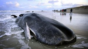 Balinaların karaya vurmasıyla ilgili bir teori daha!