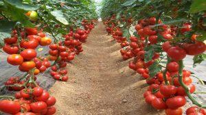 Rusya ile domates krizi bitiyor