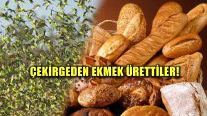 Çekirgeden ekmek ürettiler: Finlandiya'da bir garip çözüm yöntemi!