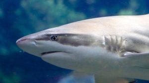 Almanya'da nesli tükenmekte olan köpekbalıkları öldü
