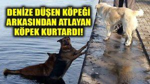 Denize düşen köpeği arkasından atlayan köpek kurtardı: İşte o anlar…