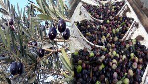 Kazdağları'nın eteklerinde zeytin bereketi