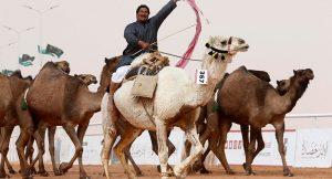 'En güzel deve' yarışmasında 'botoks' ihracı!