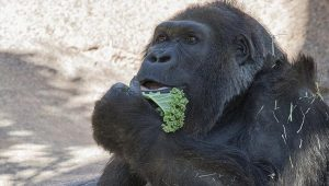 Dünyanın en yaşlı gorillerinden Vila öldü