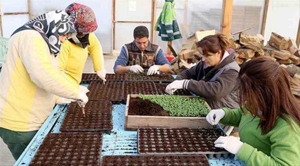 Çankaya Belediyesi yazlık çiçek üretimine başladı