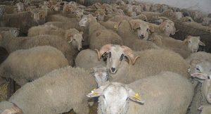 Göçleri önleme teşviği: 300 koyun veriyoruz!