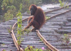 İnsanlar yüzünden ölen orangutanların sayısı tüyler ürpertici