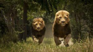 Ülkeyi şoka sokan ölüm! Kaçmaya çalışan adamı aslanlar yedi