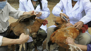 Komşu'da kuş gribi alarmı; 25 milyon kümes hayvanı itlaf edildi