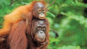 16 yılda 100 bin orangutan yok oldu