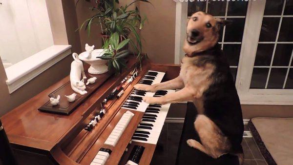 Sosyal medyanın göz bebeği köpek: Piyano çalıp, şarkı söylüyor!