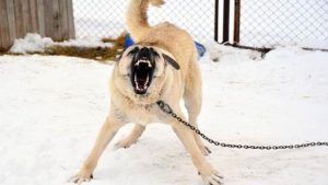 Milli köpek ırkları, Türkiye'nin güvenliği için görevde