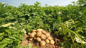 400 bin ton patates neden elimizde kaldı?