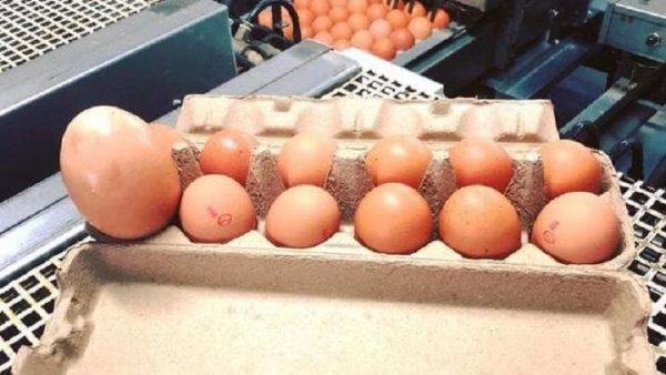 Dev yumurtanın içinden çıkana inanamadı