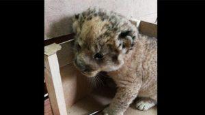 Edirne'de hayvan kaçakçıları yakalandı: Kamyonetten aslan yavrusu çıktı!