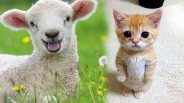 Yaramaz kedi ağıla girdi, olan koyunlara oldu!