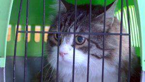 """CHP'nin kedisi """"Şero"""" bir haftalık tedavi sonrası yeniden evinde!"""