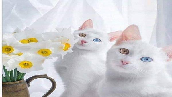 Van kedileri için güzellik yarışması