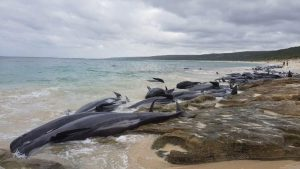 Avustralya sahilinde şoke eden görüntü… Yüzlerce pilot balina karaya vurdu