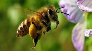 Aydın'da arı kolonileri arasında yağma savaşı başladı