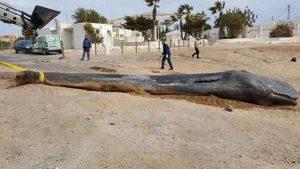Dev balina kıyıya vurdu… İçinden çıkanlar şoke etti