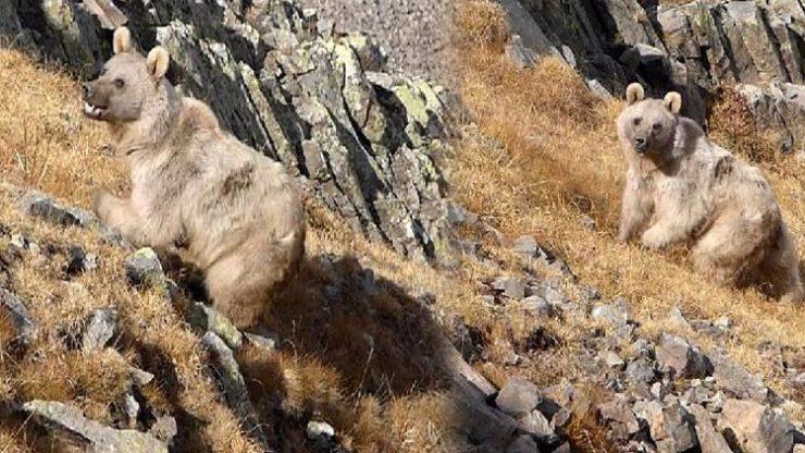 Doğu Karadeniz'de sayıları artan ayılar korkutuyor