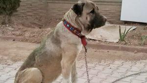 Dövüşte yaralı kurtardığı köpeği çalındı: İçinde hayvan sevgisi varsa getirsin